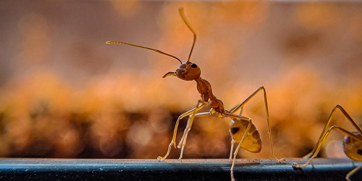 Mieren in huis - hoe krijg je ze buiten?